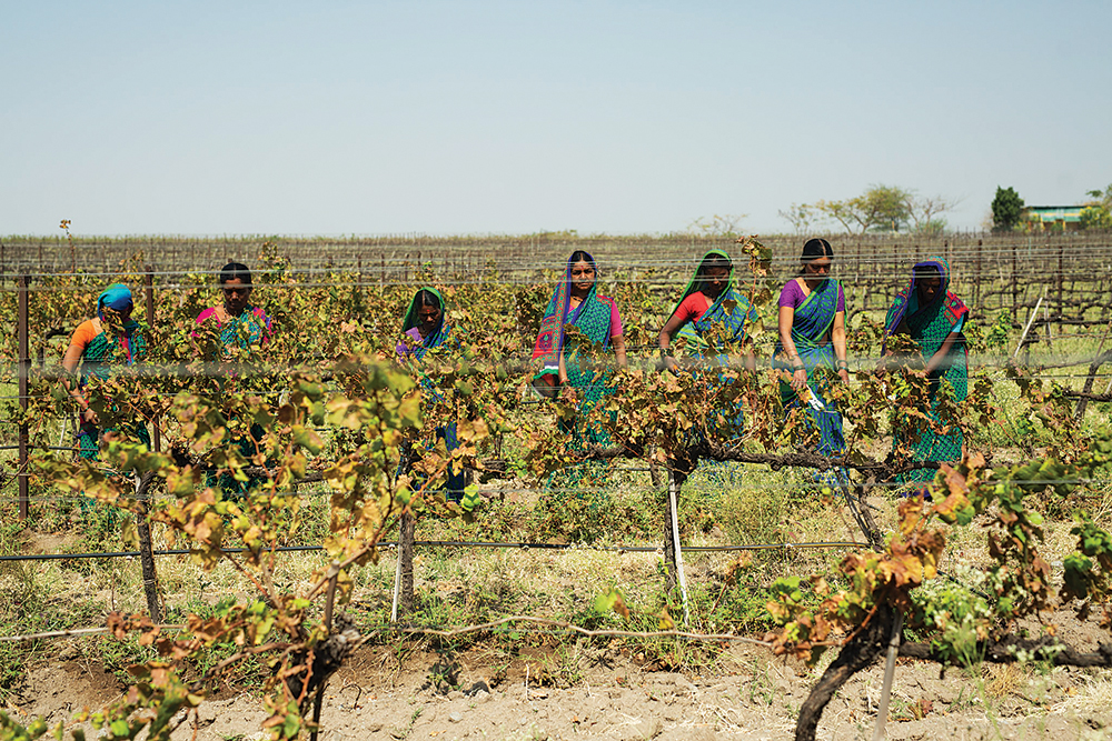 Workers at Fratelli Vineyards